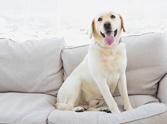 labrador on white couch